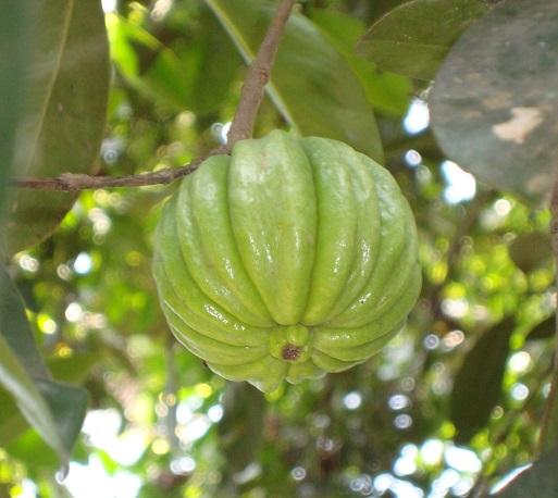 garcinia cambogia - where to buy